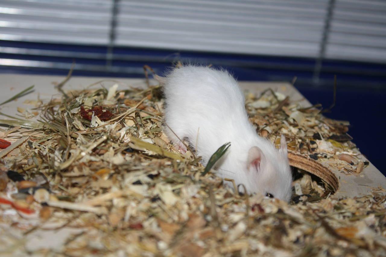 """Hamsterzucht München """"van Zeeland"""" G-Wurf"""