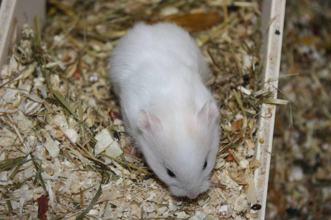 Hamsterzucht München G-Wurf