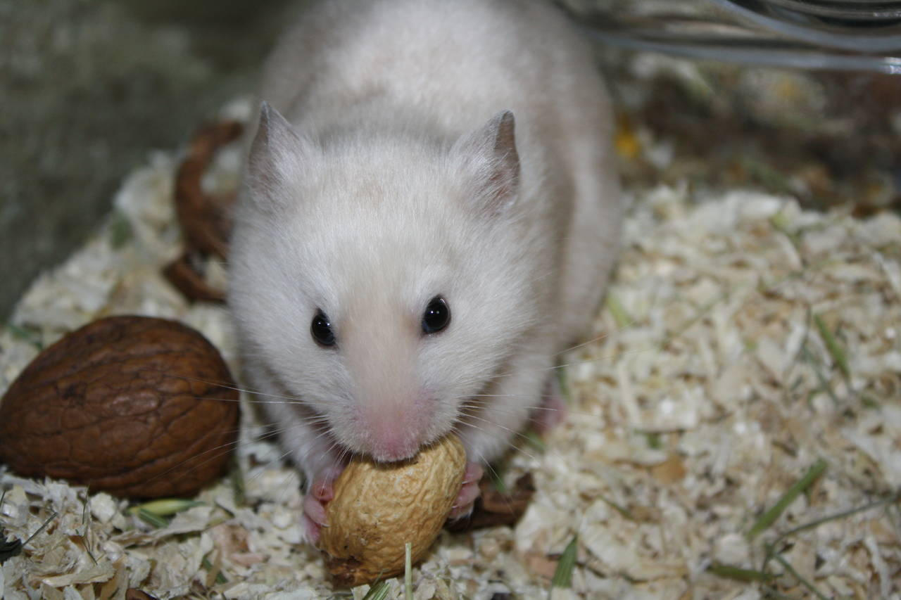 BANHI Hamsterzucht van Zeeland