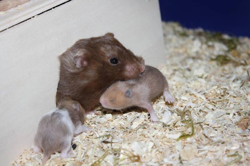 Hamsterzucht München