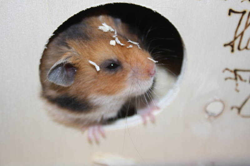 "Hamsterzucht München ""van Zeeland"" C-Wurf"