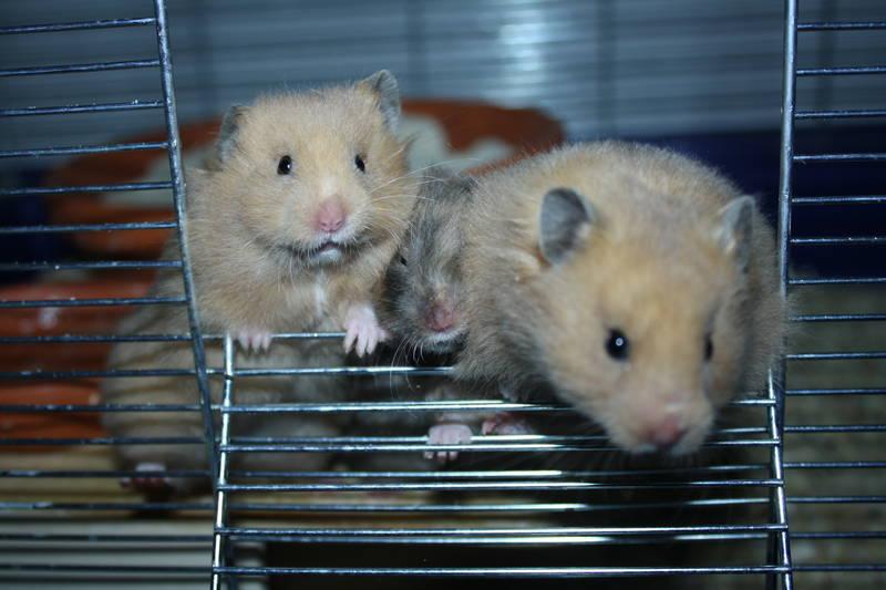 "Hamsterzucht München ""van Zeeland"" ( C-Wurf Mädels)"