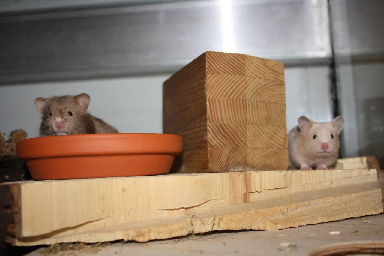 hamsterzucht München van zeeland Jungs WG L-Wurf