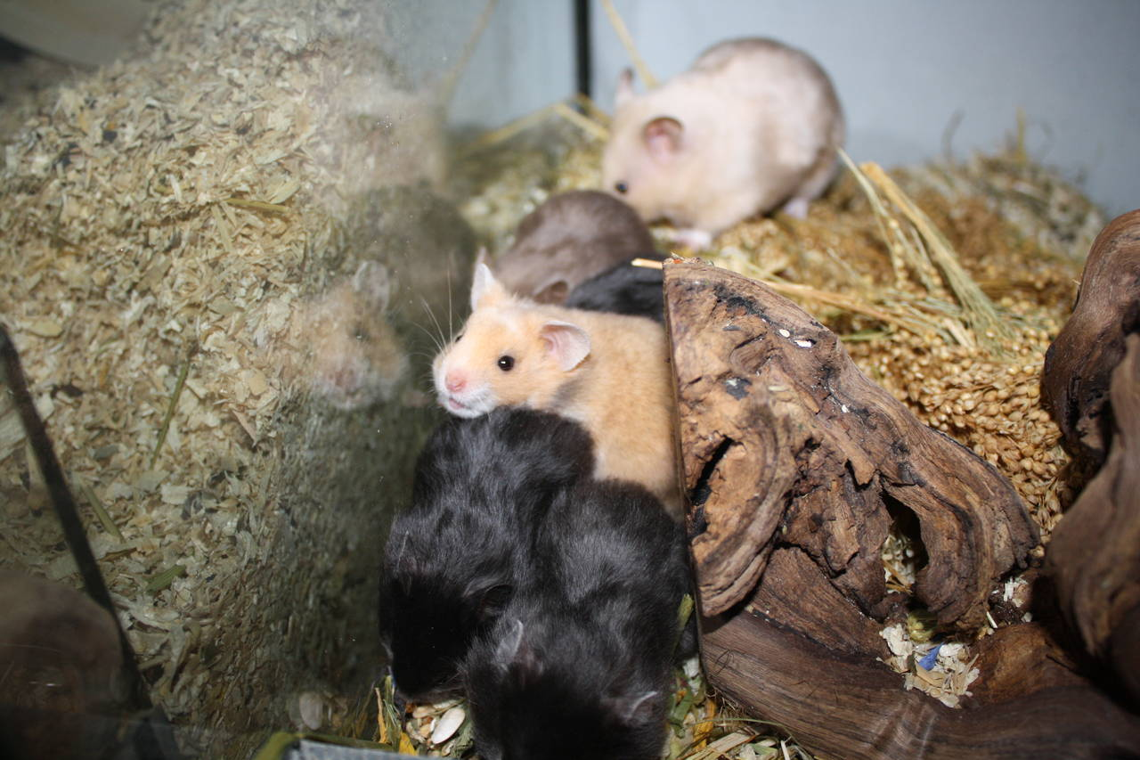 hamsterzucht München van zeeland mädels WG L-Wurf