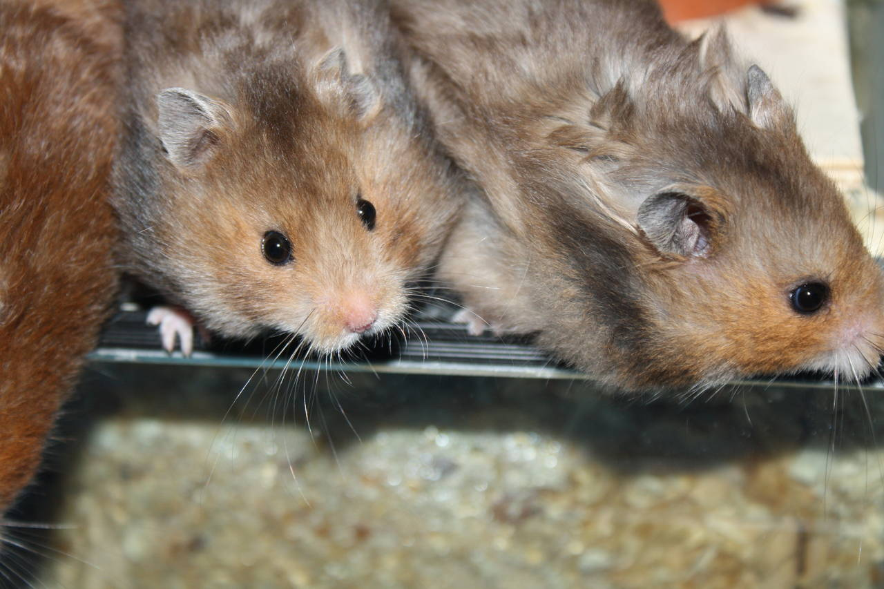 Hamsterzucht Nürnberg van Zeeland