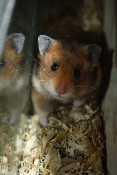 "Hamsterzucht München ""van Zeeland"" D-Wurf"
