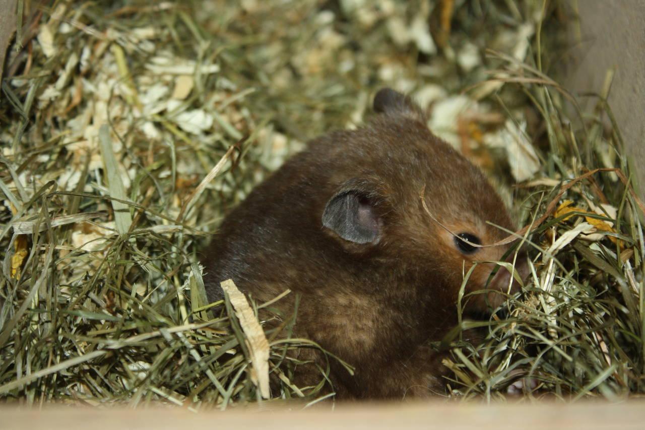 Hamsterzucht München van Zeeland M-Wurf