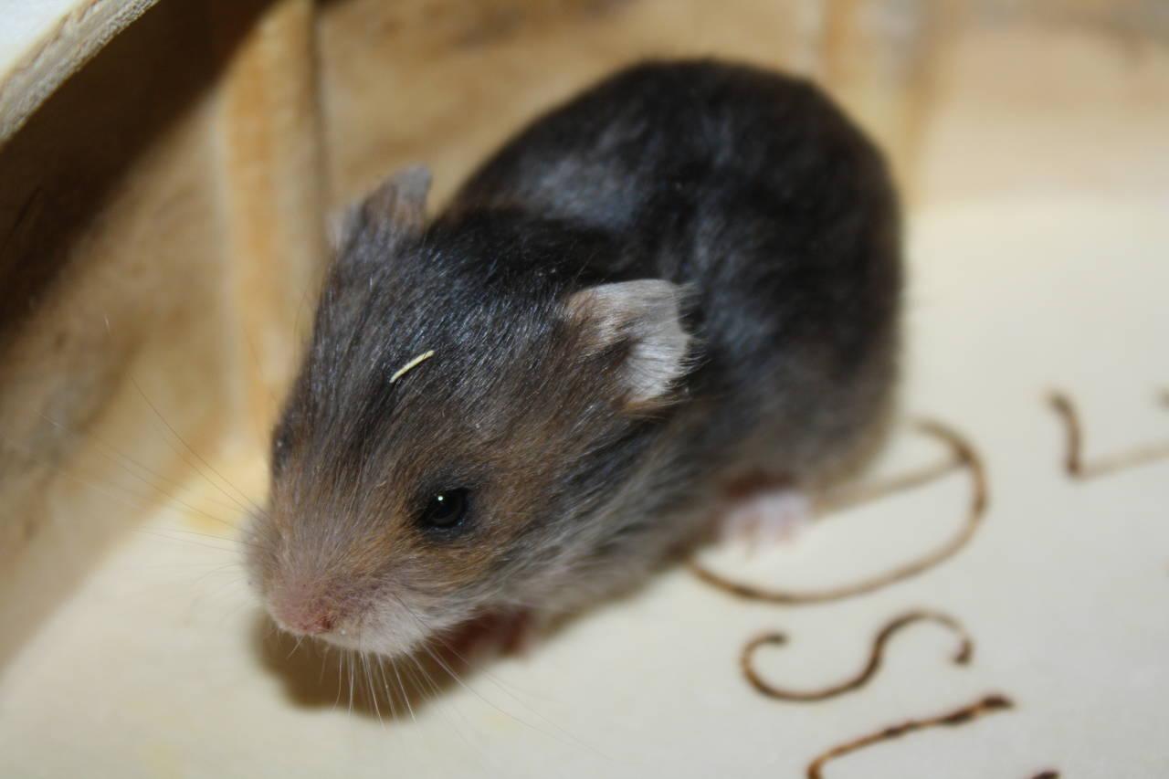 Hamsterzucht München Goldhamster und Teddyhamster van Zeeland