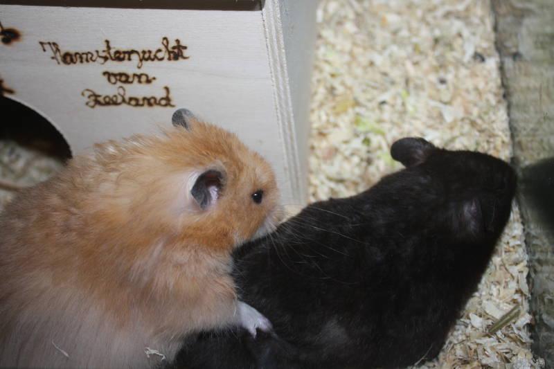 Daline und Charly (Hamsterzucht München van Zeeland)