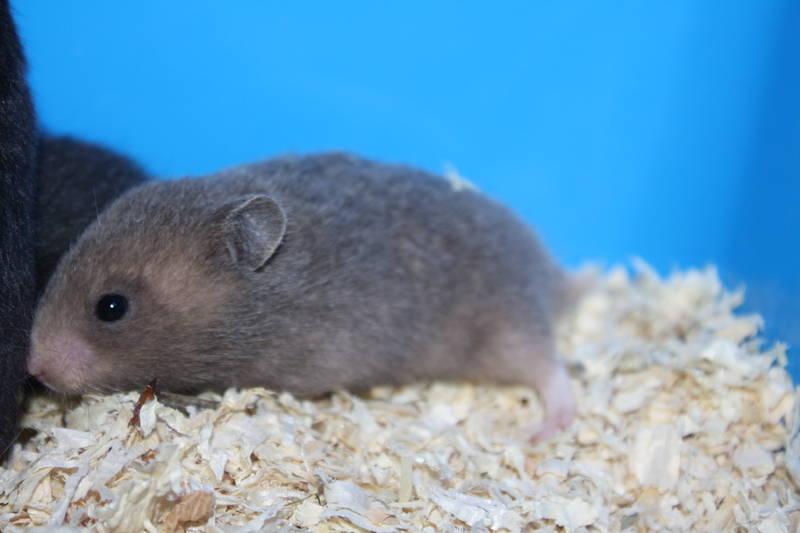 """Hamsterzucht München """"E-Wurf"""""""