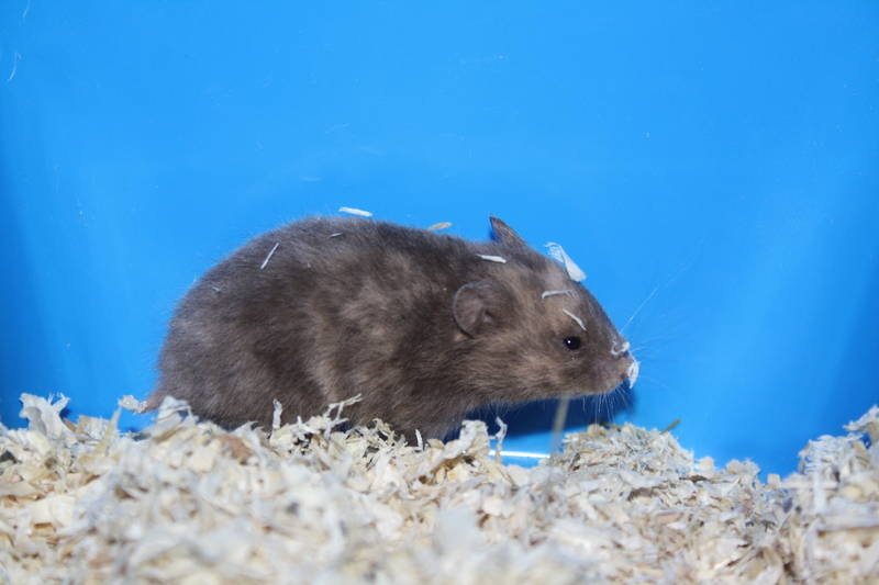 "Hamsterzucht München ""van Zeeland"" E-Wurf Emma"