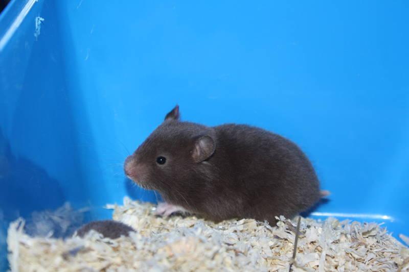 "Hamsterzucht München ""van Zeeland"" E-Wurf ELINA"