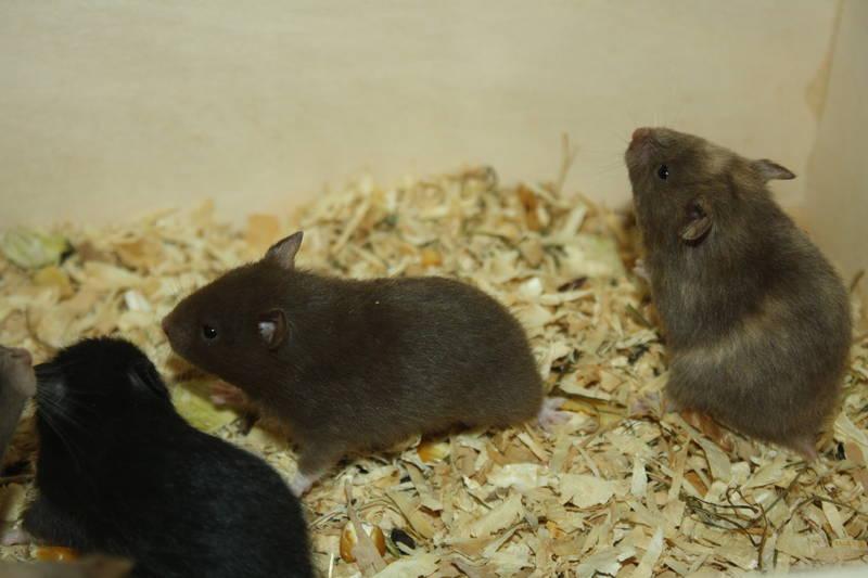 "Hamsterzucht München ""van Zeeland"" E-Wurf"