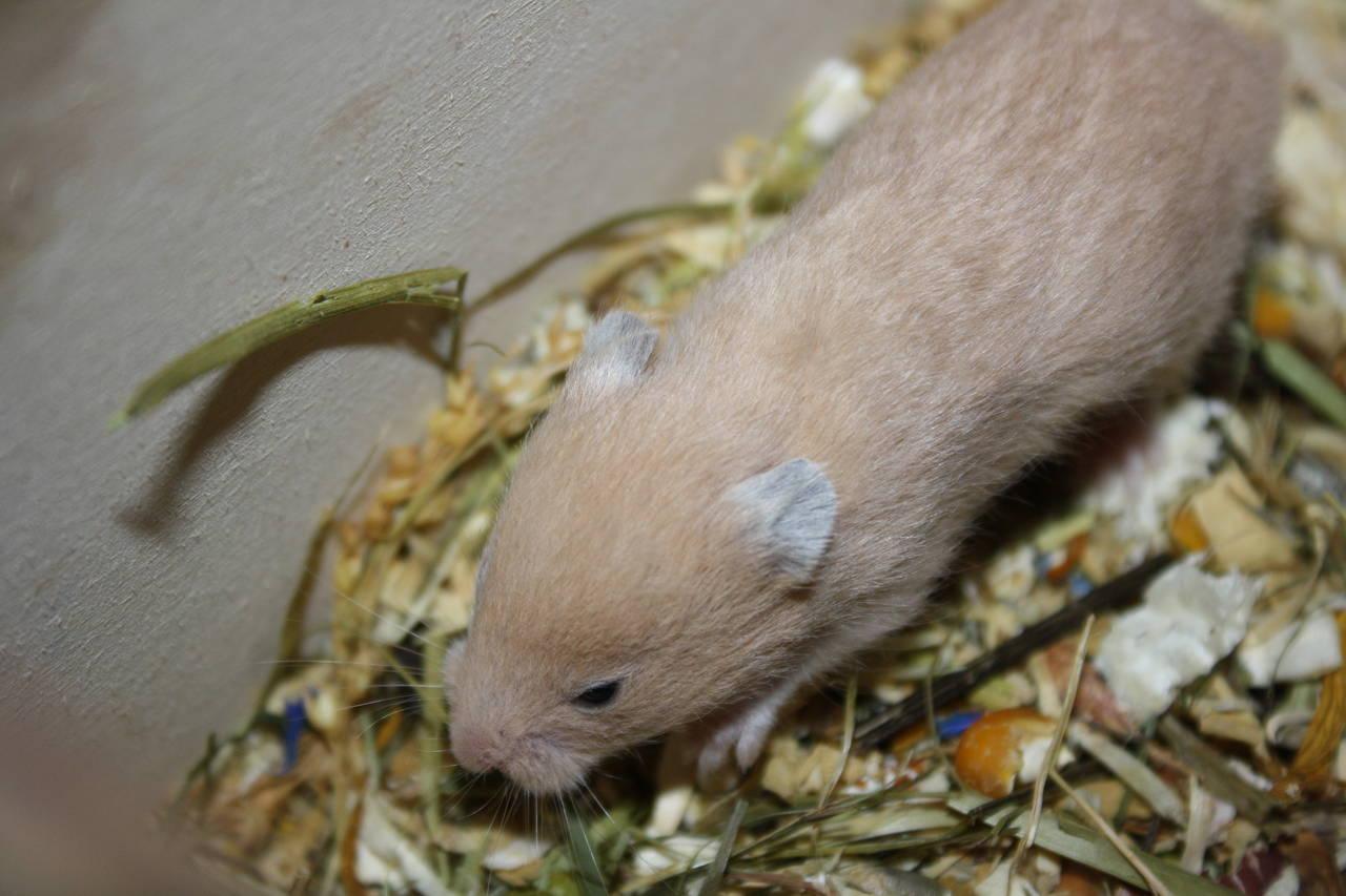Hamsterzucht München van Zeeland H-Wurf