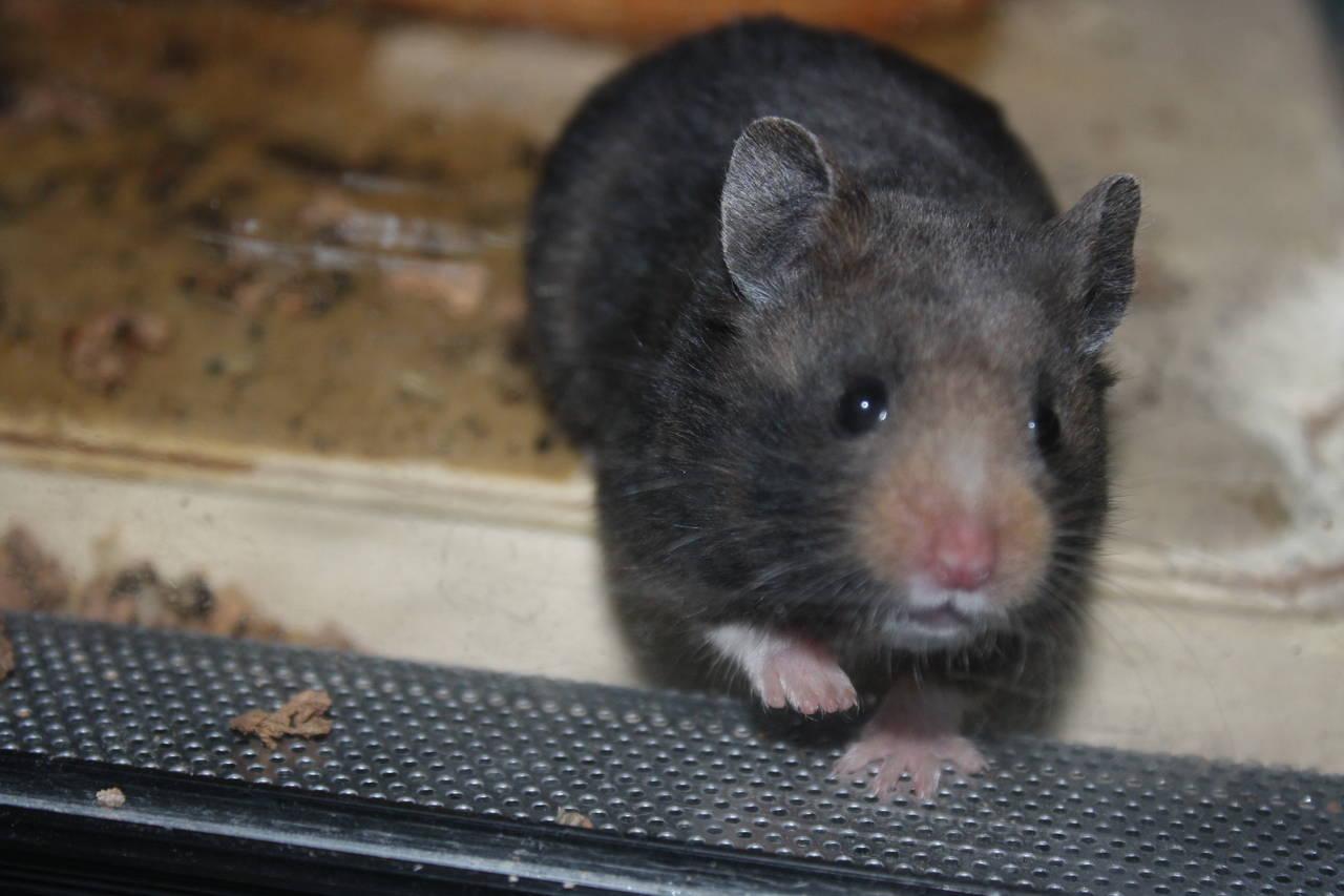 Hamsterzucht Nürnberg