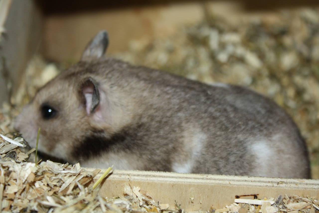 Kurz vor der Geburt O-Wurf Hamsterzucht München van Zeeland