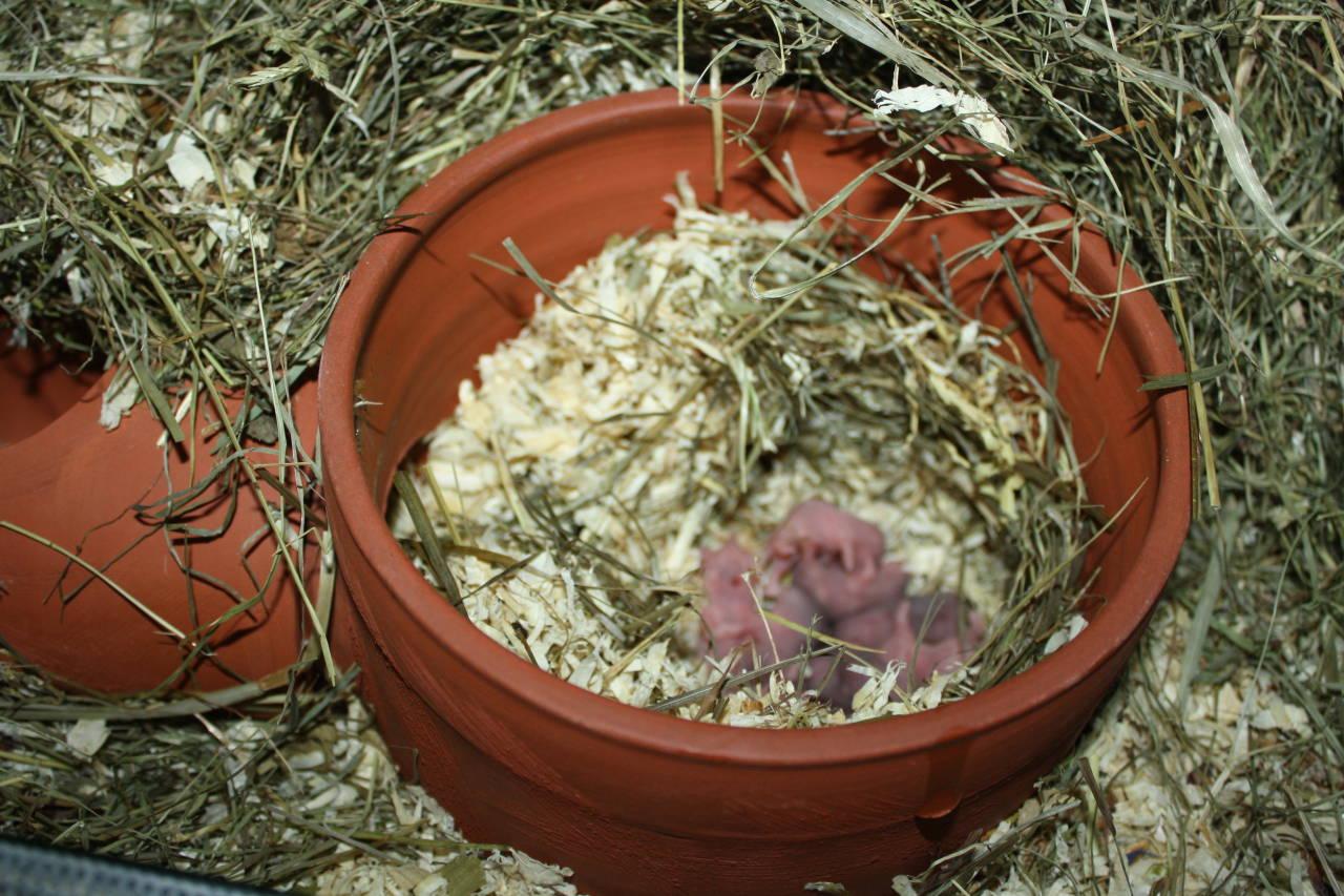 Hamsterzucht München zeeland Hamsters T-Wurf