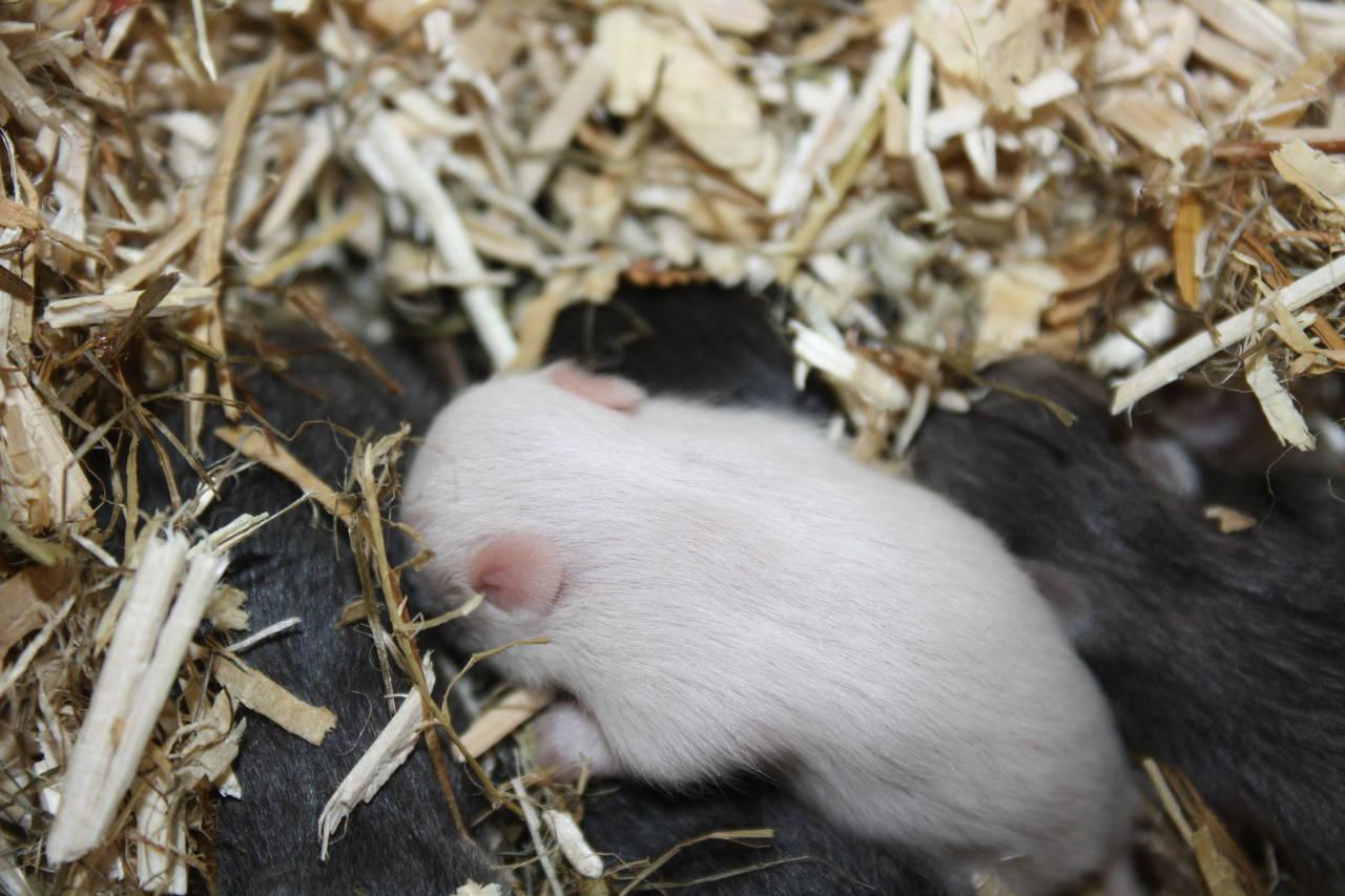 Hamsterzucht München Zeeland Hamsters Q-Wurf Quchen und Plätzchen