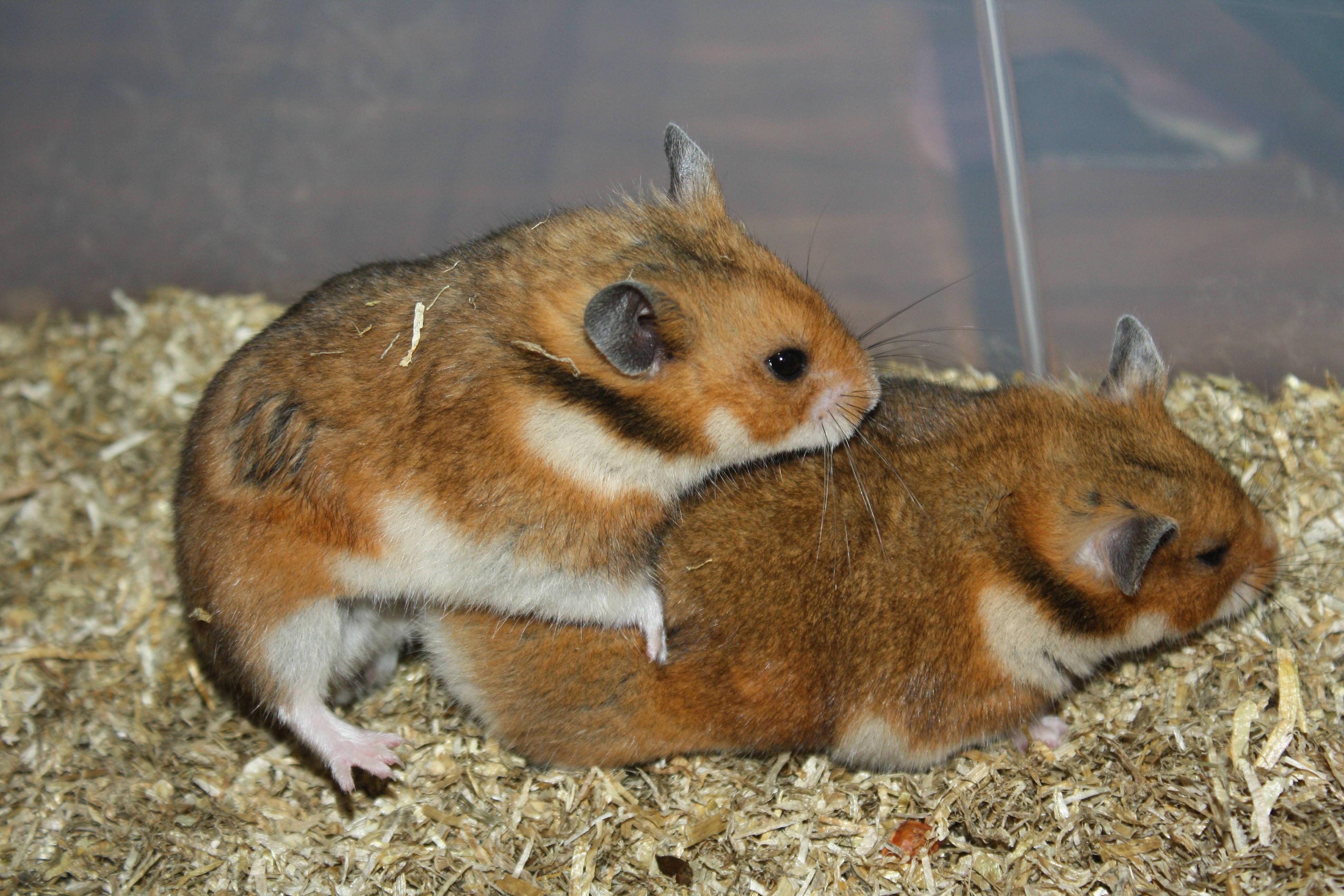 Hamsterzucht München Zeeland Hamsters