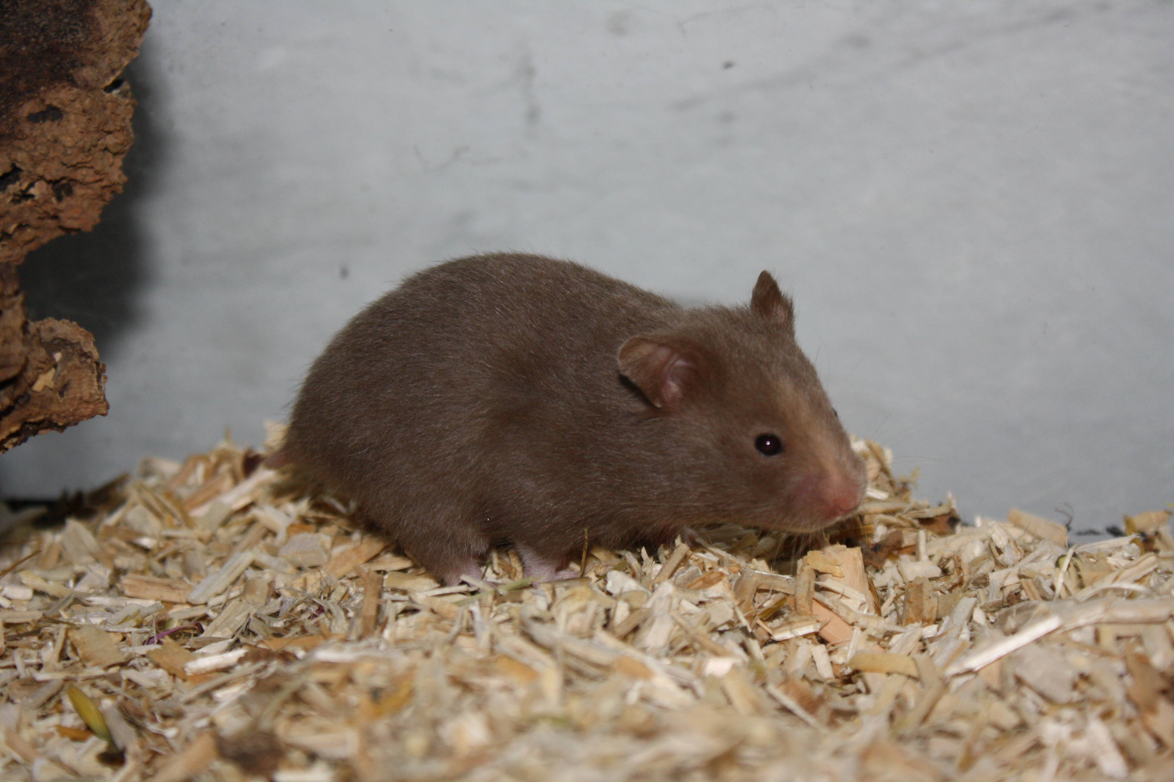 Hamsterzucht München Q-Wurf