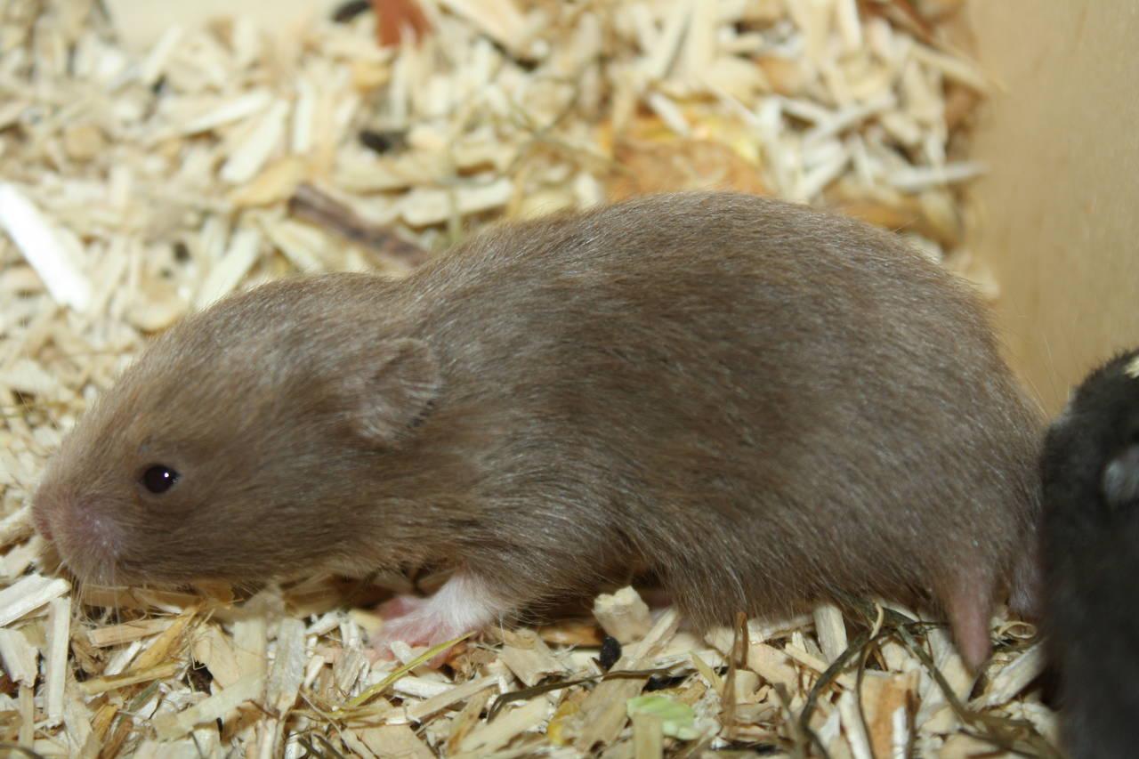 Hamsterzucht München Q-Wurf Hamsterzucht Zeeland Hamsters