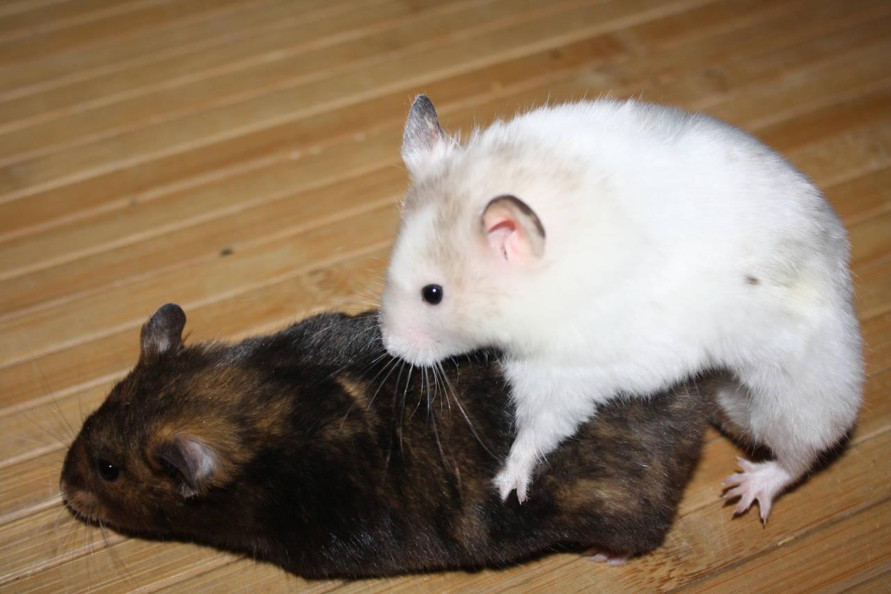 T-Wurf Hamsterzucht München Zeeland Hamsters