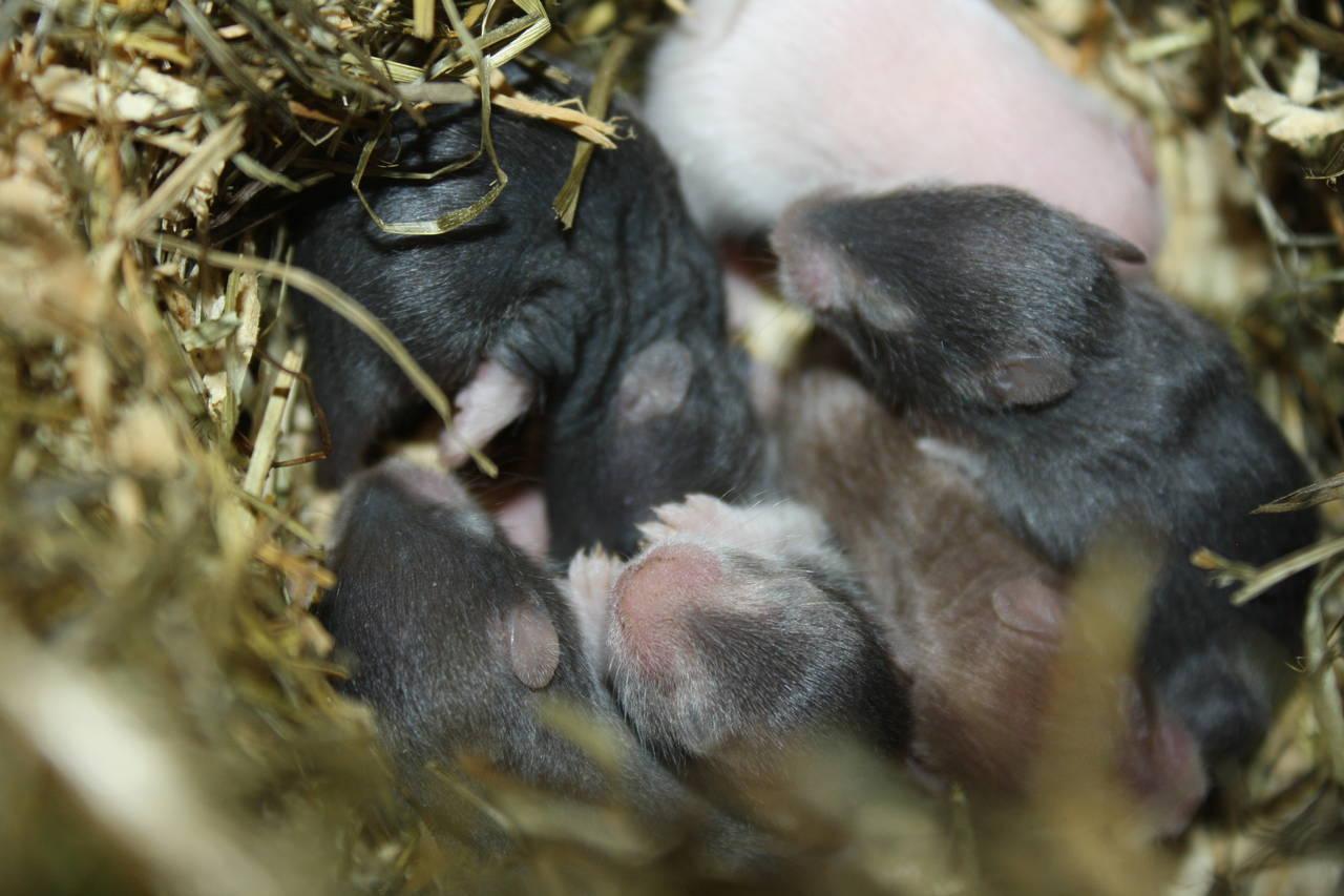 Hamsterzucht Zeeland Hamsters München Q-Wurf Quchen und Plätzchen
