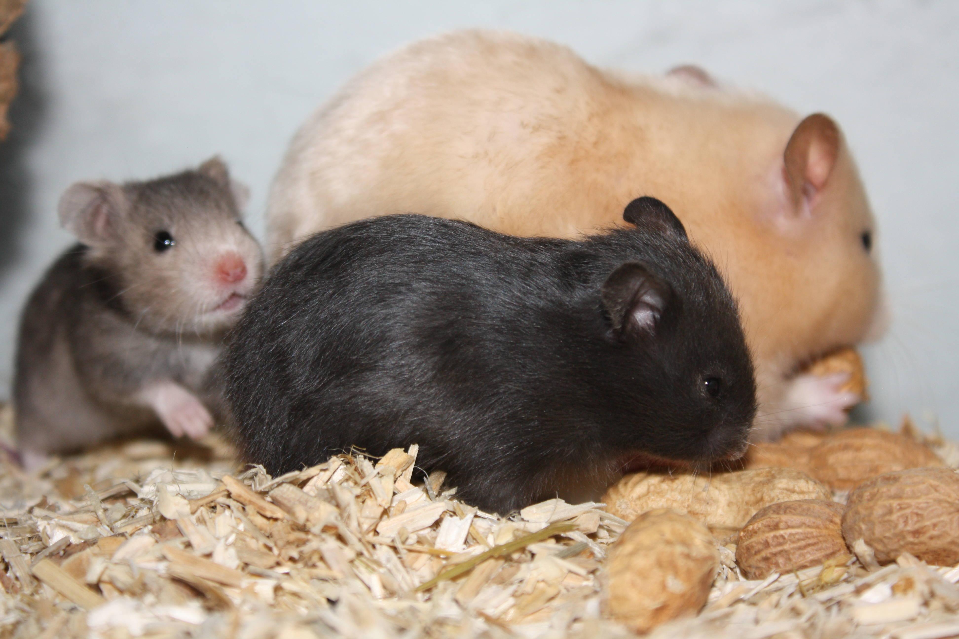 Hamsterzucht München Gold- und Teddyhamster Zeeland Hamster Q-Wurf