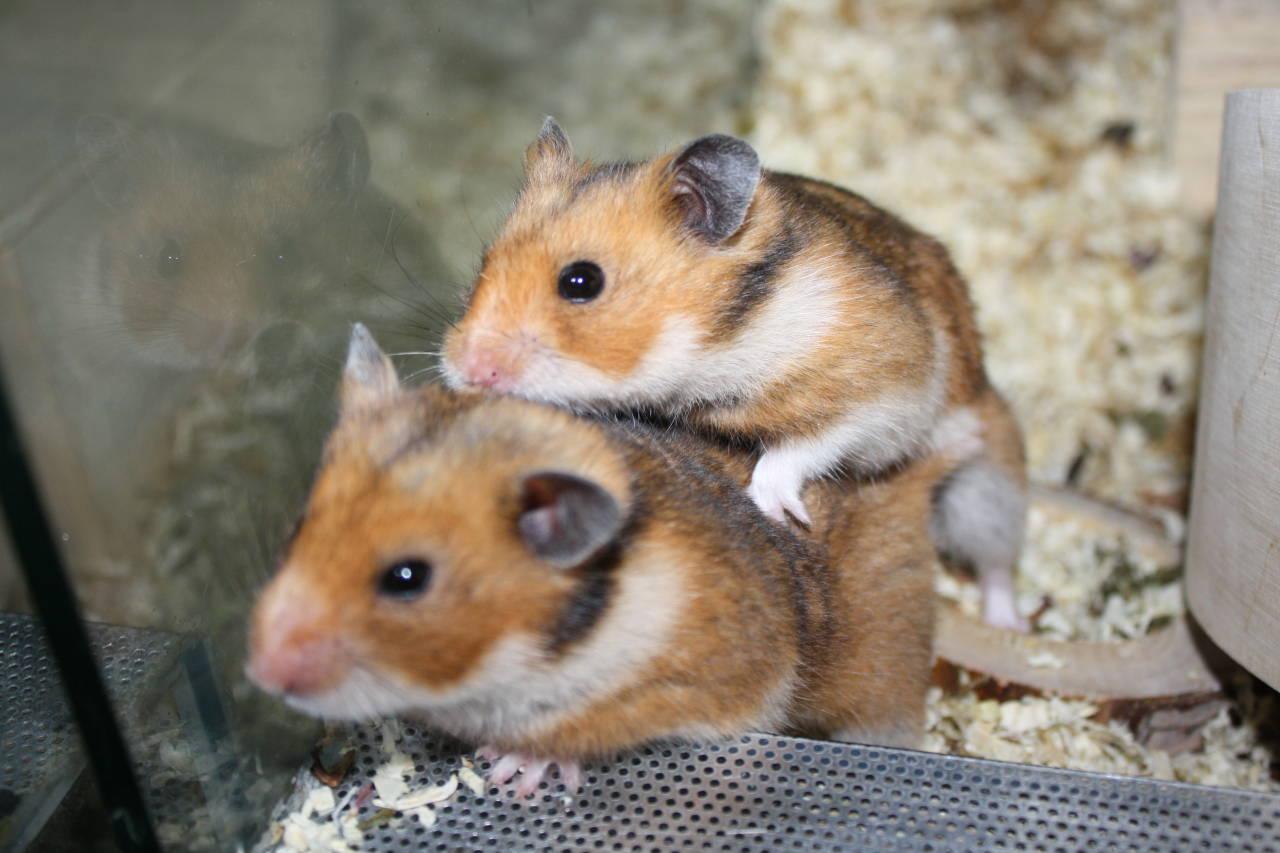 Hamsterzucht München Zeeland Hamsters U-Wurf Wild Line