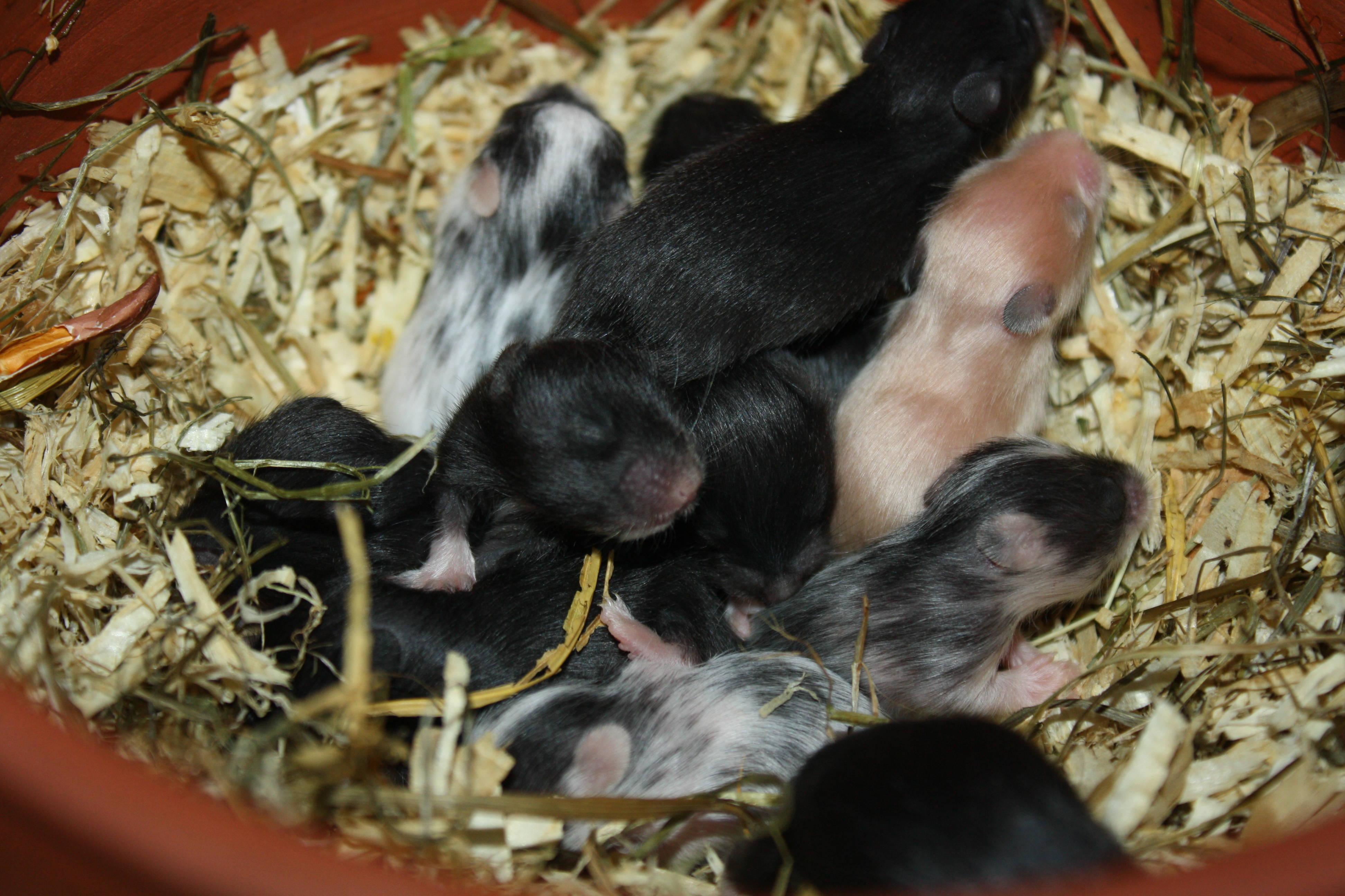 Zeeland Hamsters München T-Wurf