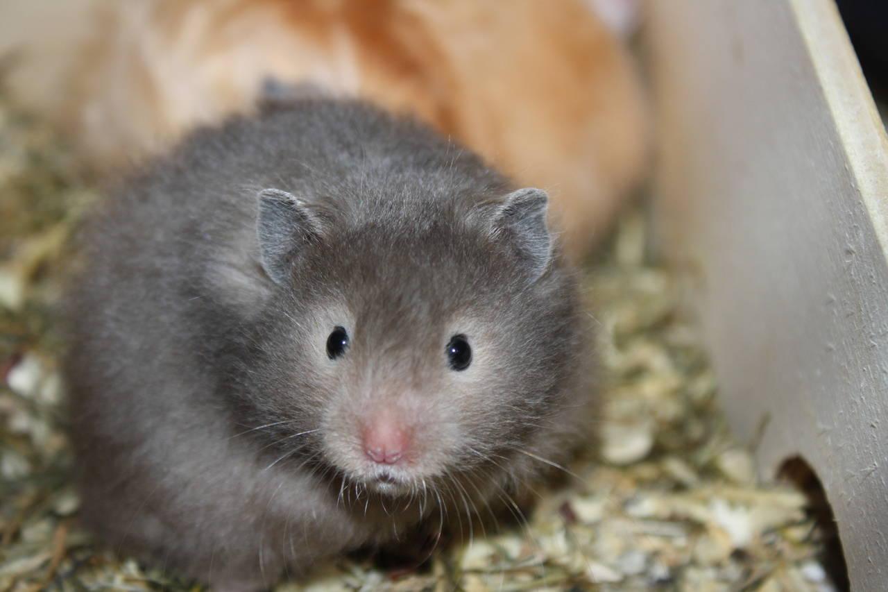 Hamsterzucht München Mädels WG F-Wurf