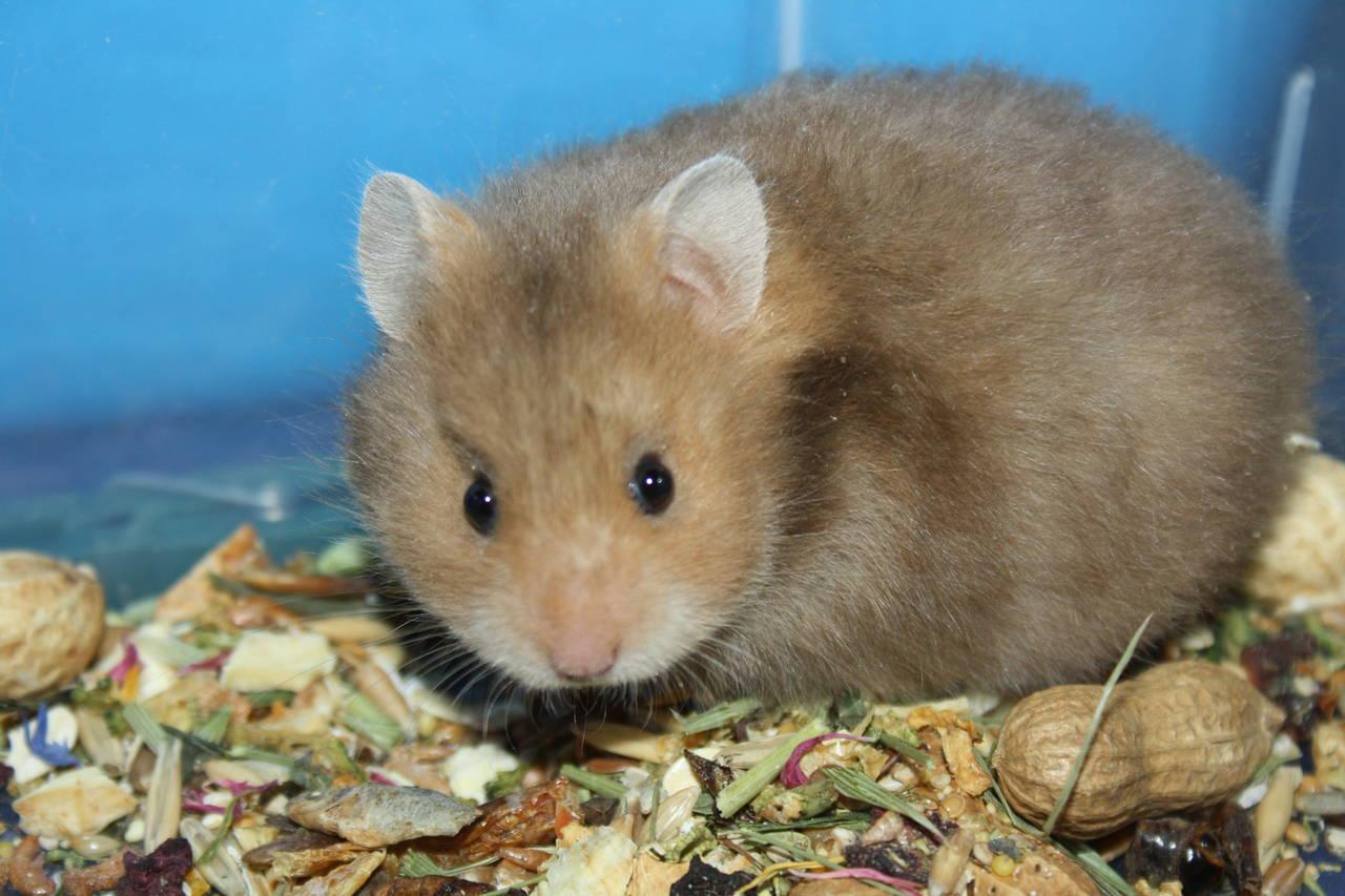 Hamsterzucht München van Zeeland