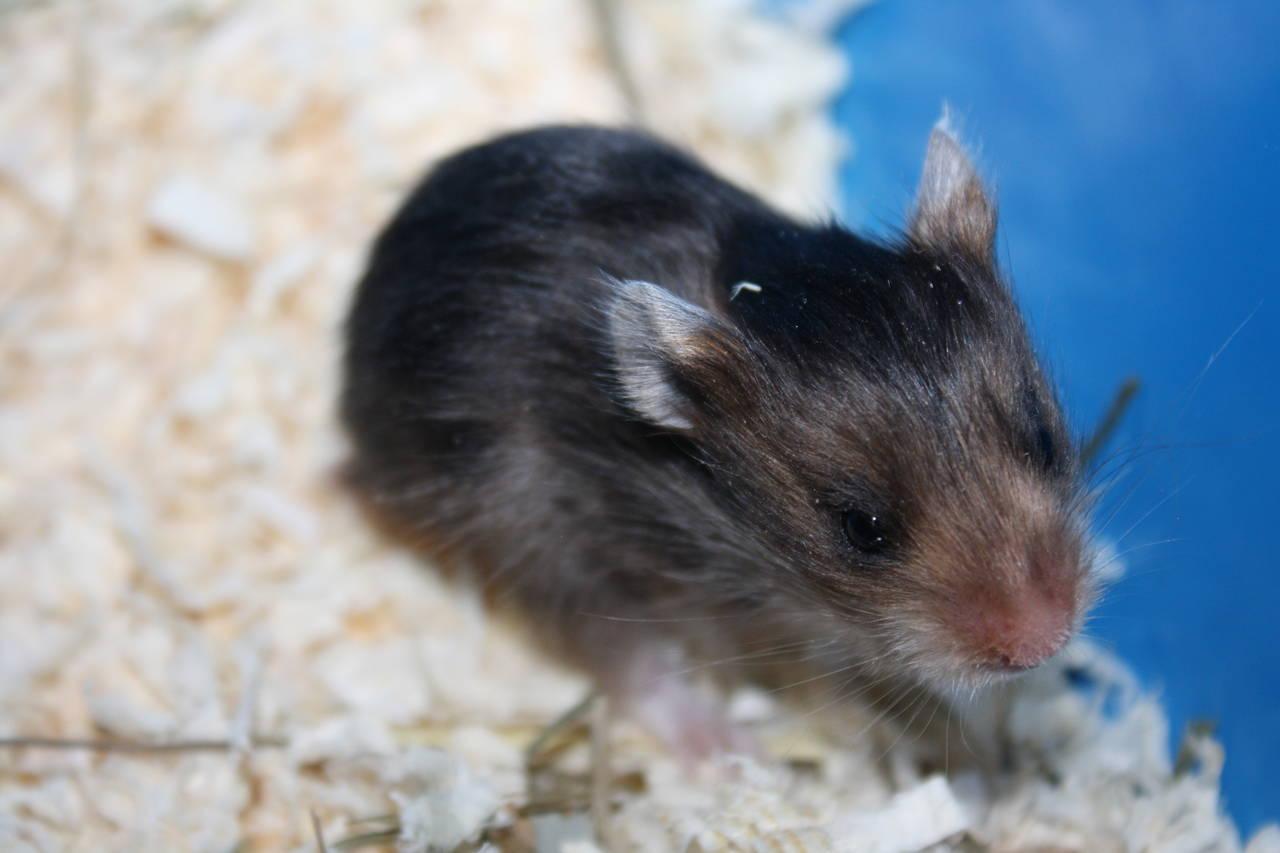 Hamsterzucht München van Zeeland N-Wurf N1