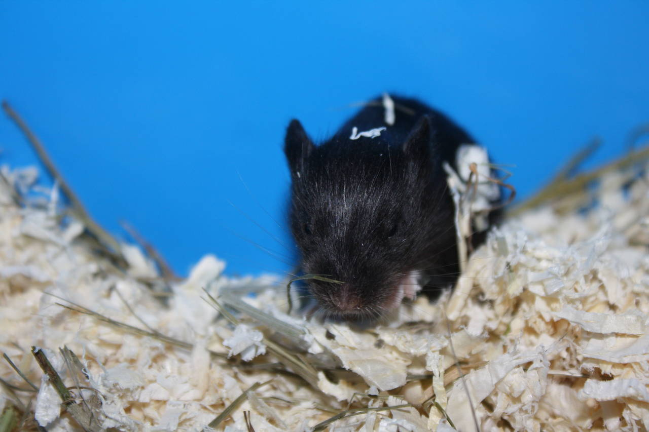 Hamsterzucht München van Zeeland N-Wurf N5