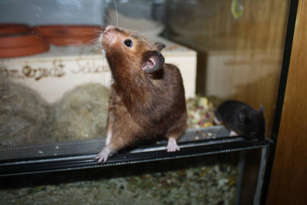 Hamsterzucht München van Zeeland N-Wurf N6