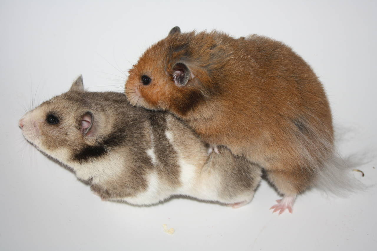 Hamsterzucht van Zeeland HOBBYhamsterzucht München