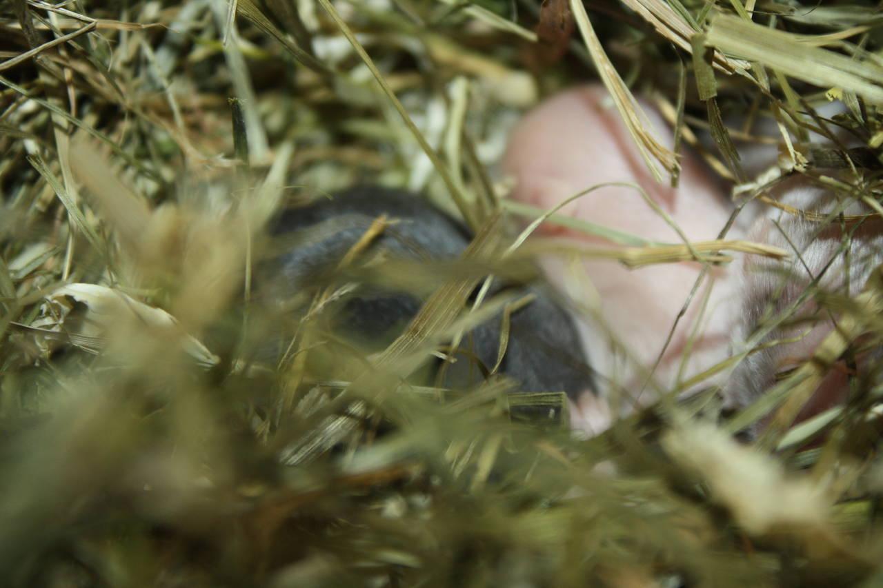 Hamsterzucht van Zeeland Hamsterzucht München M-Wurf
