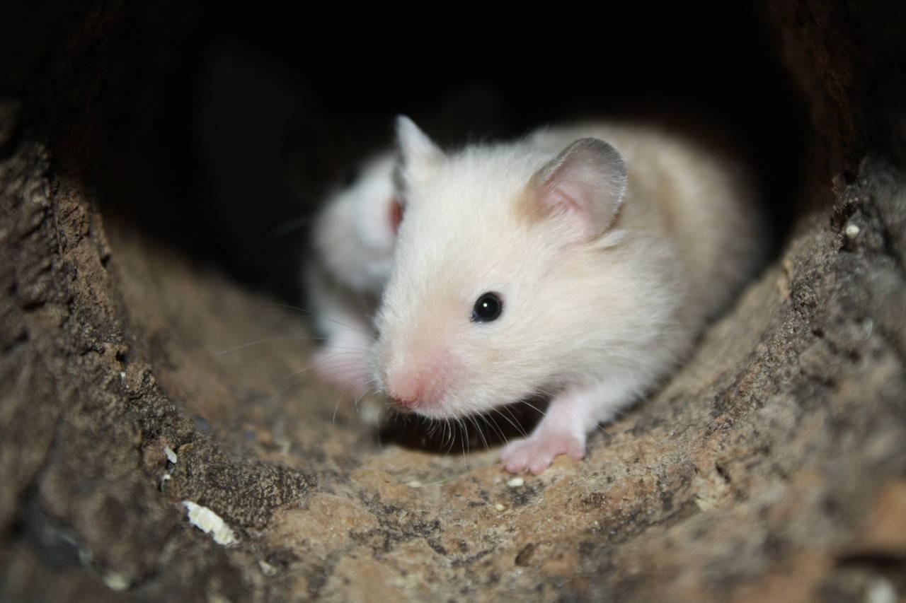 Angelicc´s Banhi Hamsterzucht München van Zeeland