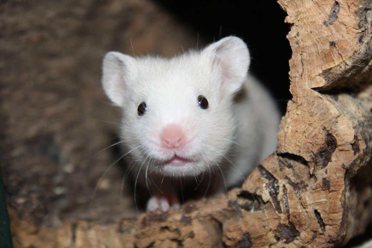 Hamsterzucht van Zeeland München Nürnberg Memmingen Augsburg Hamsterzucht