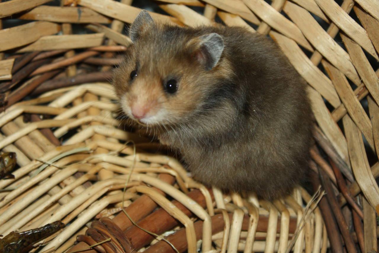 Hamsterzucht München van Zeeland N1