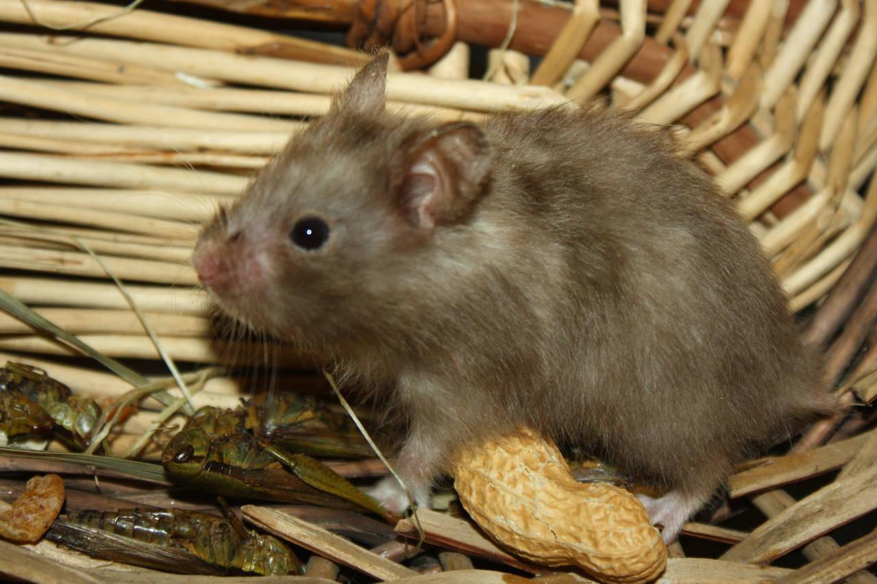 Hamsterzucht München van Zeeland N2