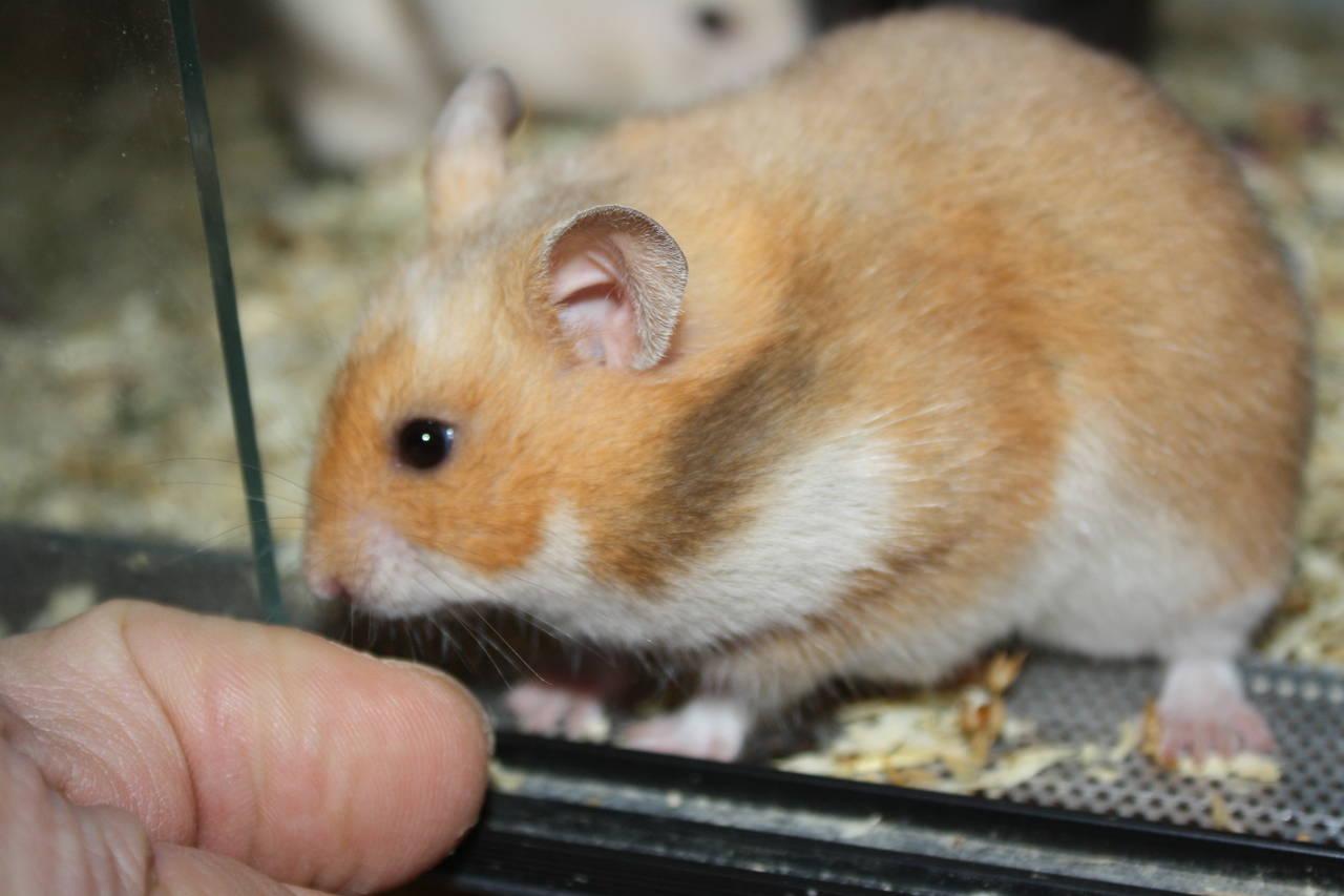 Hamsterzucht München van Zeeland L-Wurf