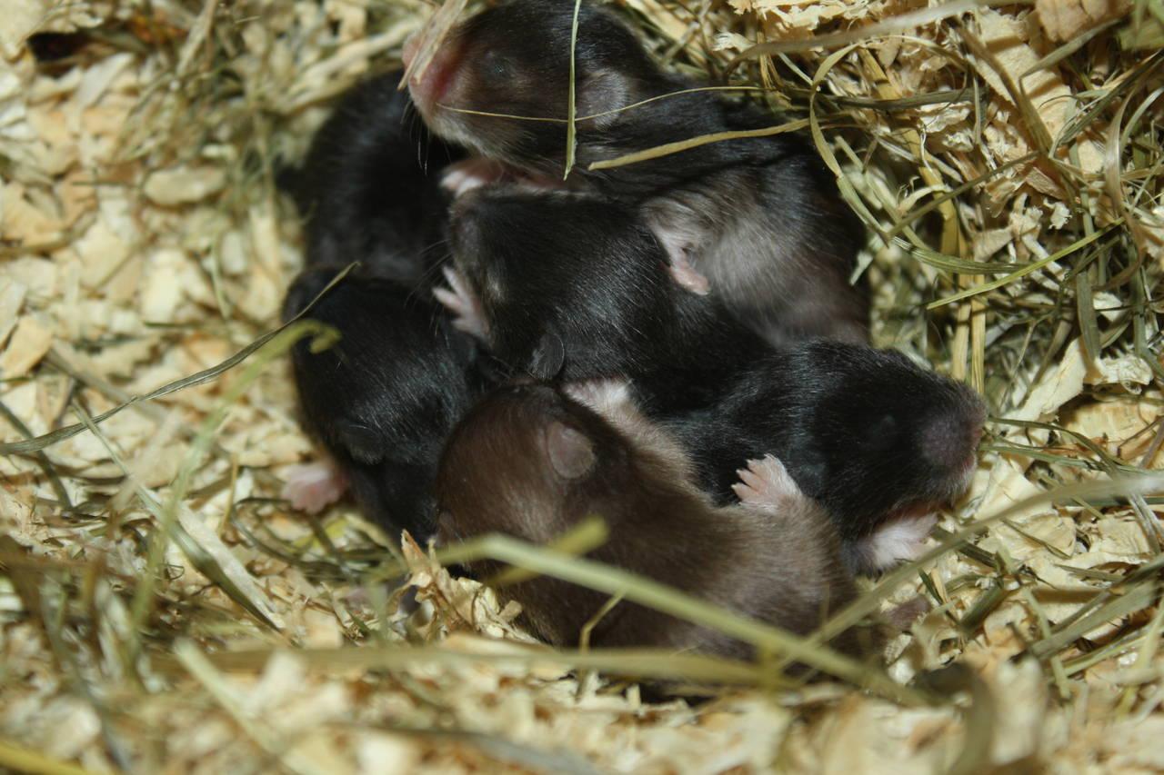 Hamsterzucht München van Zeeland N-Wurf