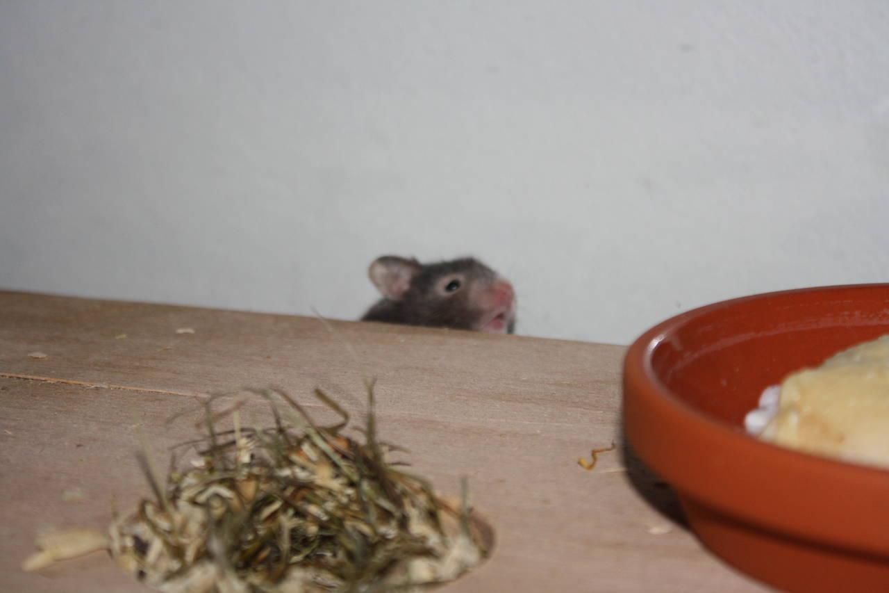 Hamstergeschichten Hamsterzucht München van Zeeland