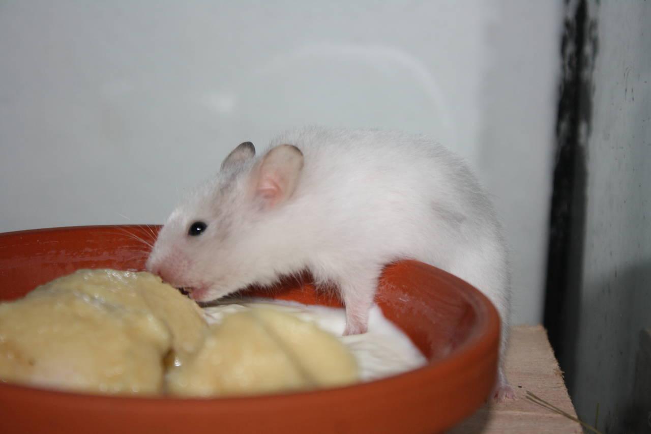 Hamsterzucht München van Zeeland Hamstergeschichten
