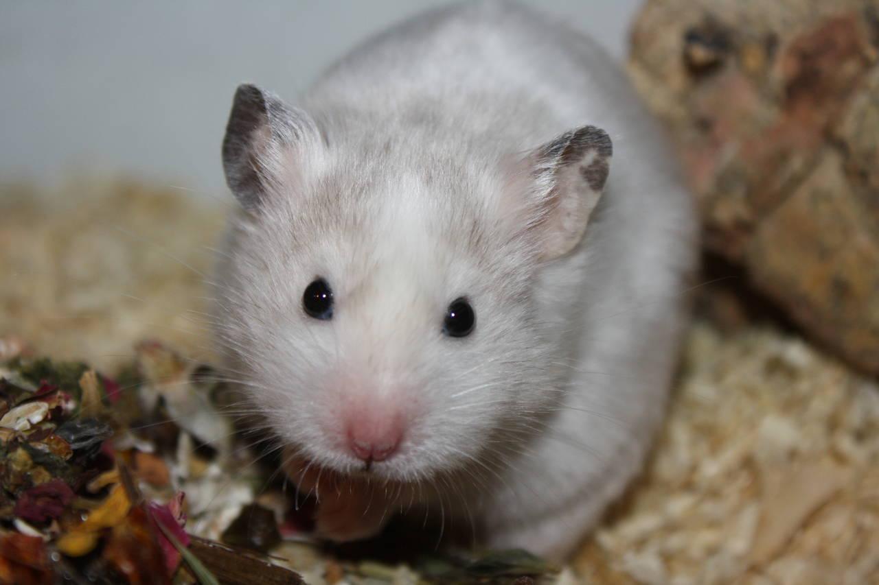 Müsli Hamsterzucht München van Zeeland
