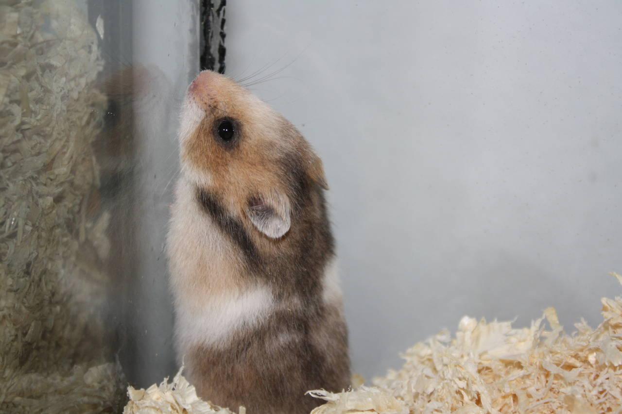 Hamsterzucht München O-Wurf
