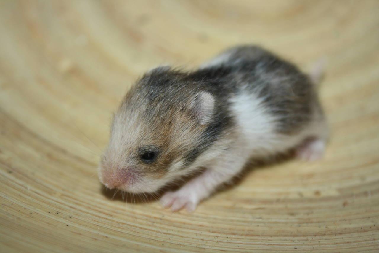 Hamsterzucht München van Zeeland O-Wurf
