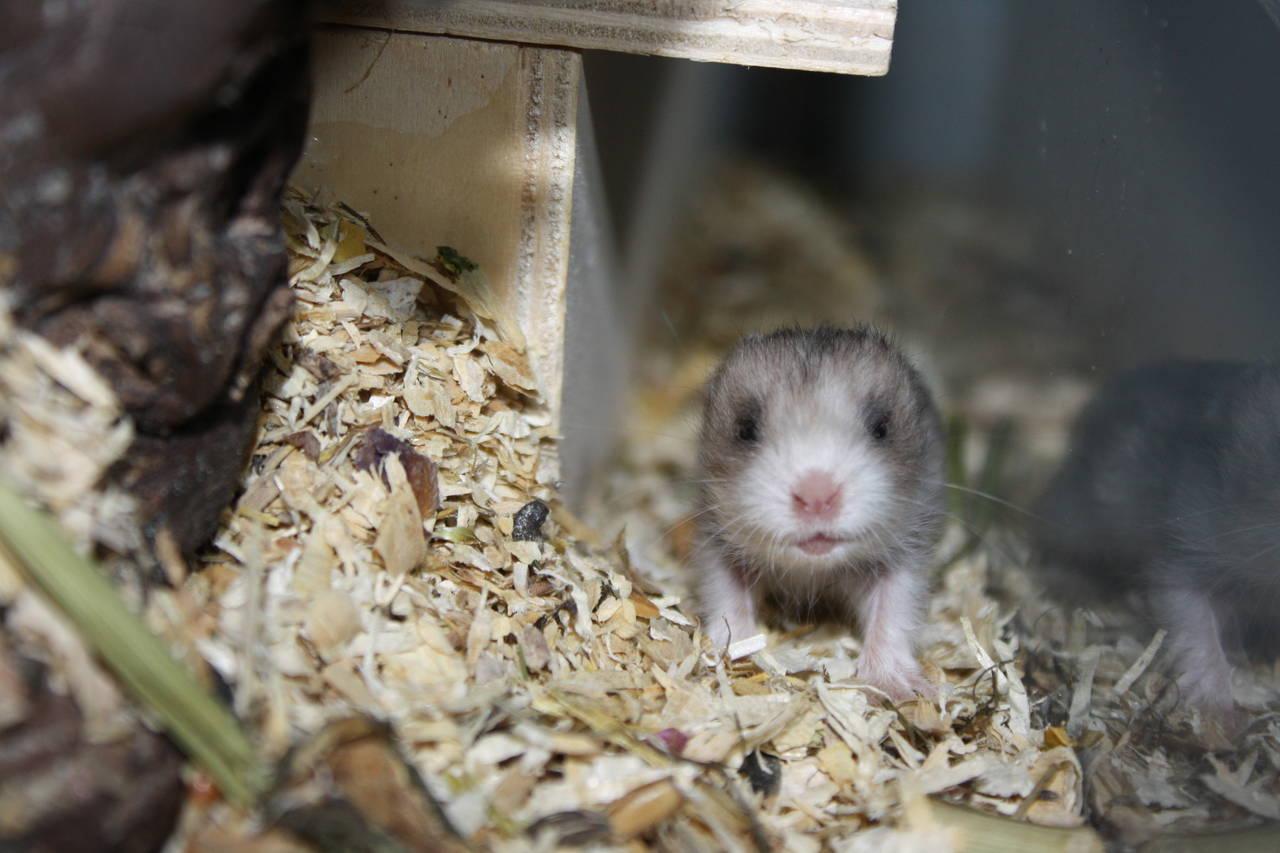 Hamsterzucht München van Zeeland München O-Wurf