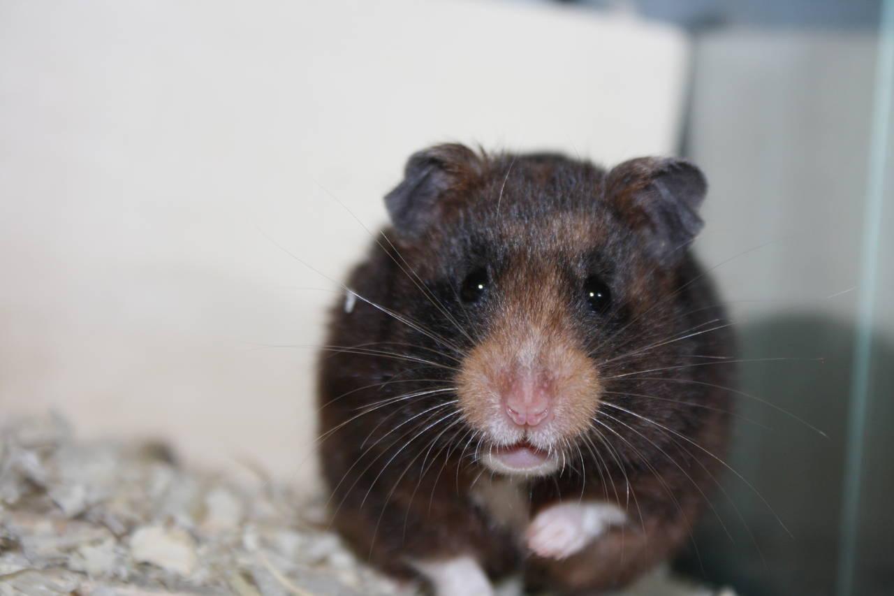 Hamsterzucht München Himalaya